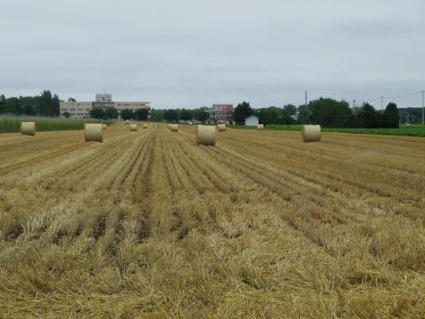 小麦のロール