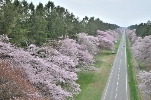 静内の桜並木空撮