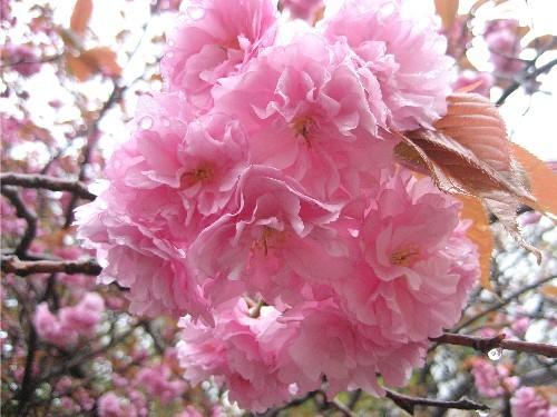 道南旅行 リベンジ編 5 松前の桜
