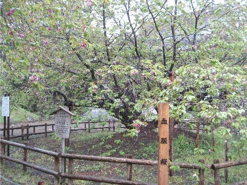道南旅行(リベンジ編)5 松前道の桜 2