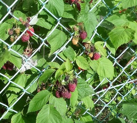 酷暑の年の木苺は
