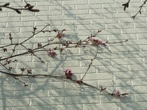 桜♪ 開花♪