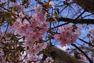 緑ヶ丘公園~桜~
