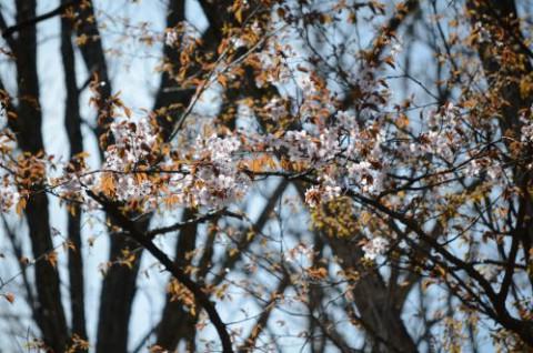 コニファーの桜が開花♪