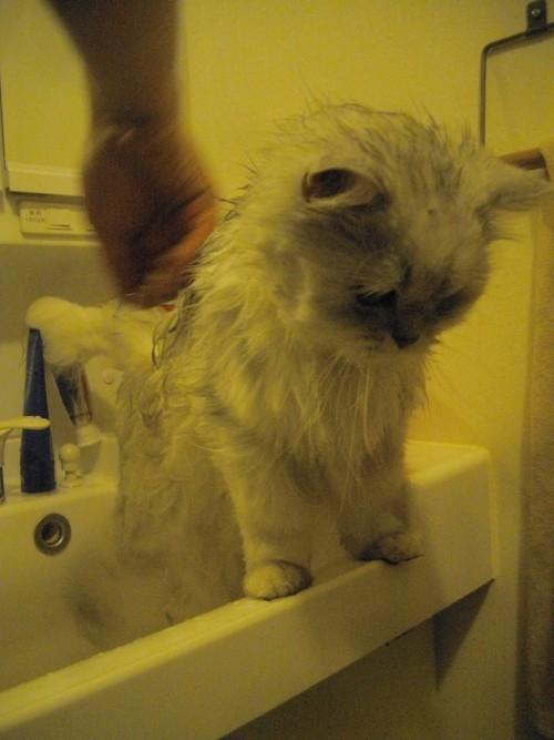 お風呂が大好きなネコ