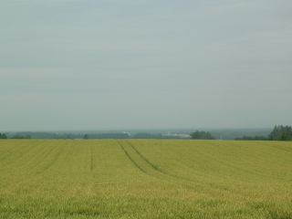 色付く麦畑と長芋