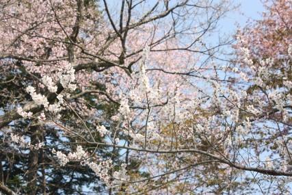 遅咲きの梅に散る桜・・・