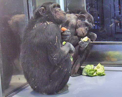 チンパンジーの画像 p1_4