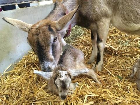 ヤギのくろが赤ちゃんを産みました!
