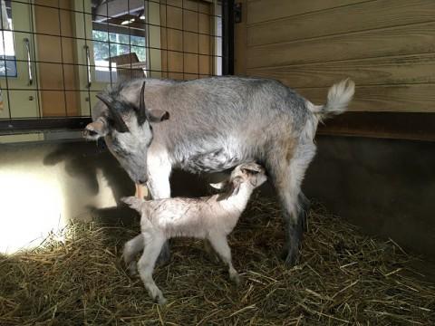 ヤギのこなつが赤ちゃんを産みました!