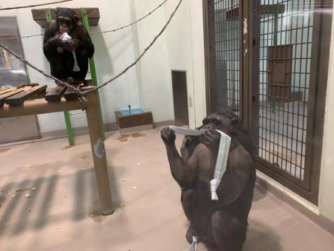 チンパンジーたちのおやつタイム