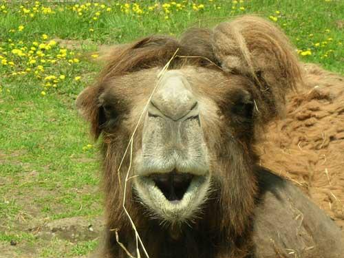ラクダの へん顔