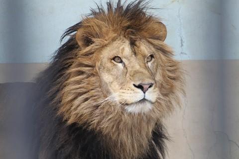 ライオンのヤマト