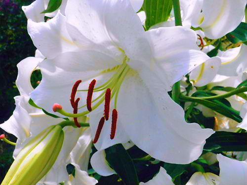 カサブランカ (植物)の画像 p1_10
