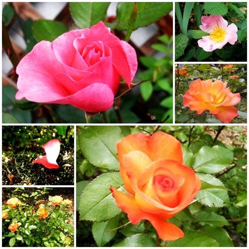薔薇よ~り美しい~♪