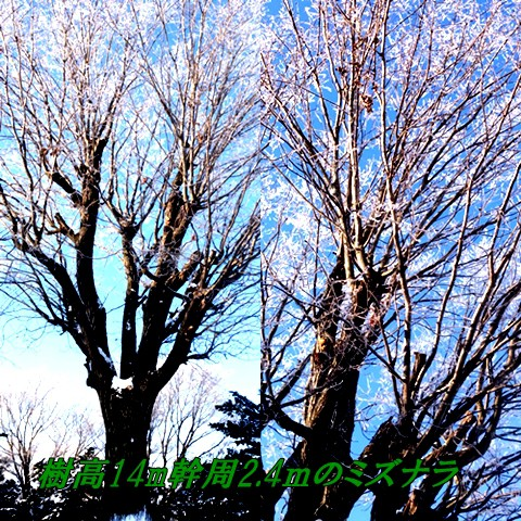 巨木に挑む