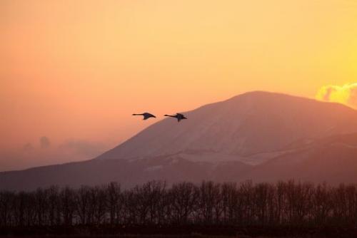 春の使者 白鳥の飛来