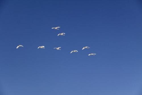今日の白鳥