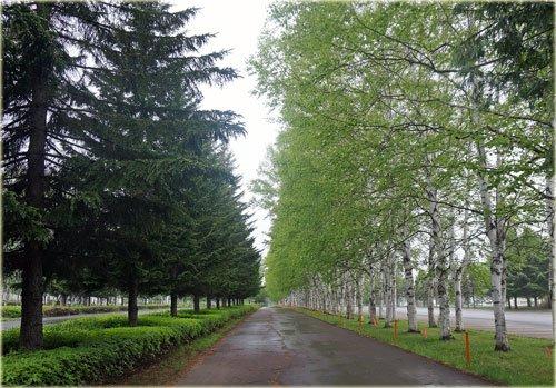帯広の森、新緑の白樺並木
