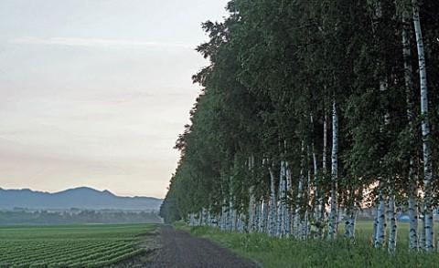 士幌のお気に入り白樺防風林