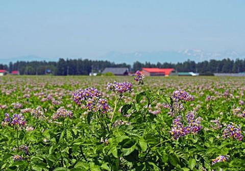 ジャガイモの花満開