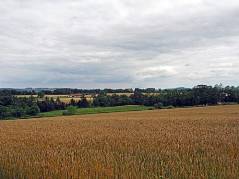 小麦畑が色付きました