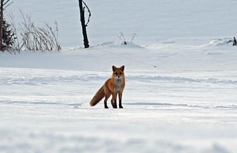 雪原を走るキタキツネ