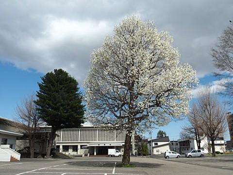 満開のコブシと咲き始めた桜