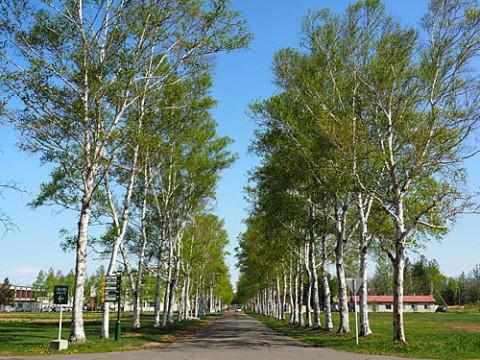 帯広畜産大学新緑の白樺と乗馬