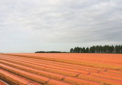カラフルな長芋畑