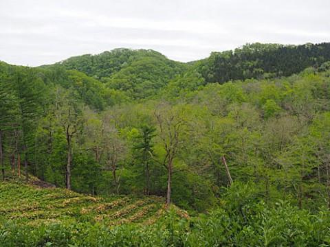 新緑の山菜の山
