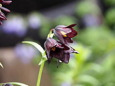 帯広の指定花クロユリ