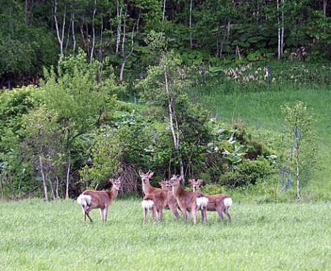 毎年生え変わる雄鹿の袋角