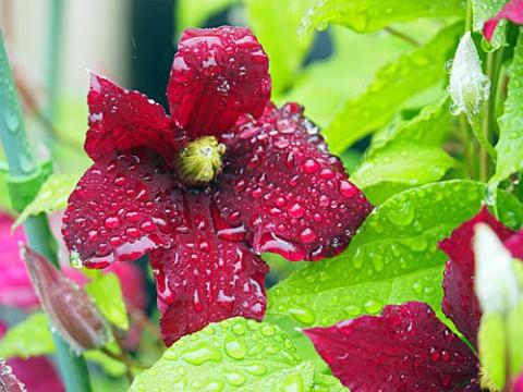 雨の日のクレマチス