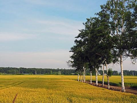 小麦も色付いた夏の畑