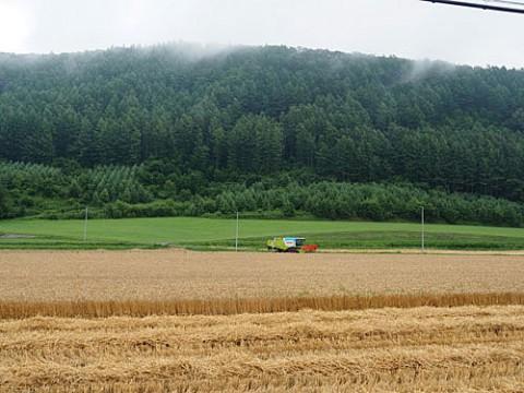 小麦収穫作業始まる