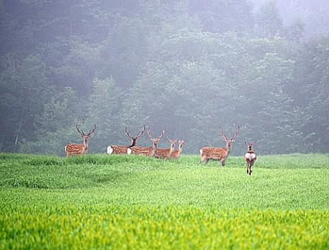 鹿追町でエゾシカの群れ