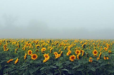 濃霧の朝のヒマワリ畑