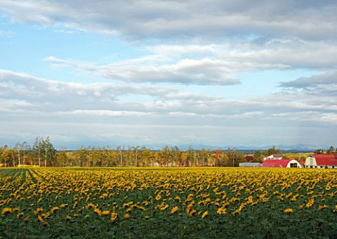 ひまわり畑と今朝の気嵐