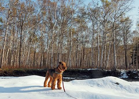 山は冬で熊の足跡・畑は秋でカラマツ色付く