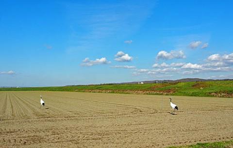 池田の丹頂・十勝川のシロサギ