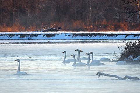 十勝川にやってきた白鳥とオジロワシ