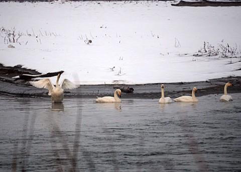 十勝川帯広側と音更側からの白鳥