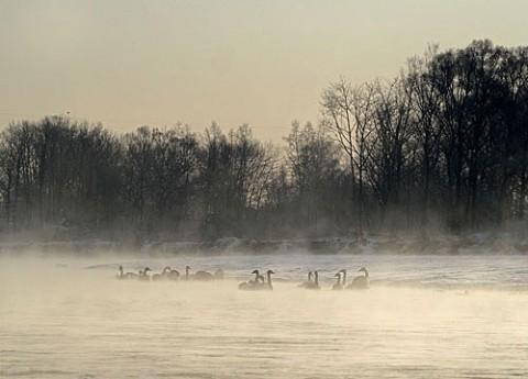 毛嵐の中の白鳥