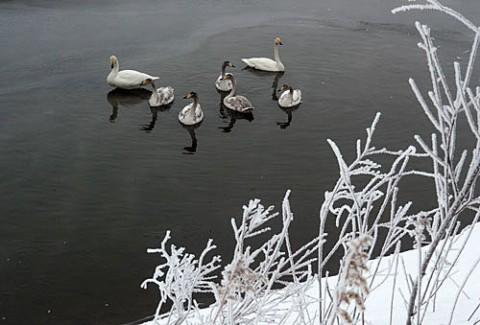 幼鳥が多かった白鳥