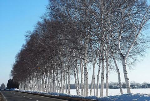 冬の白樺並木と防風林