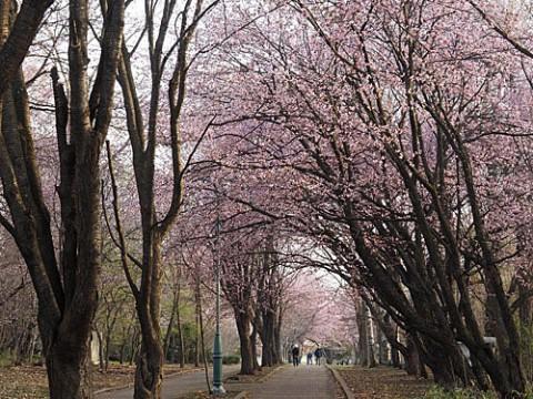桜が見ごろの緑ヶ丘
