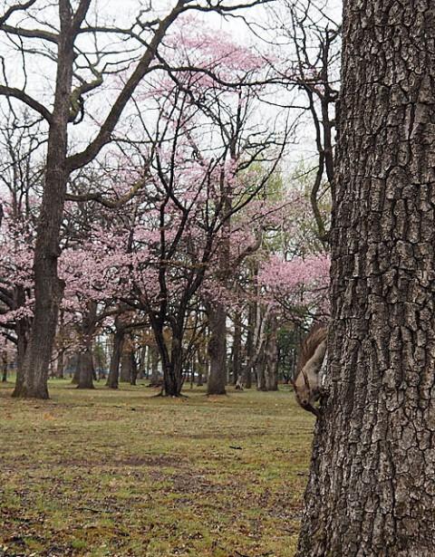 すずらん公園の桜とエゾリス