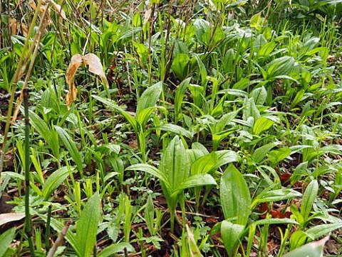 毒草イヌサフランの群生とその花