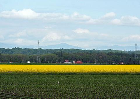 音更町の菜の花とブロッコリー畑